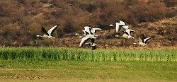 Geese taking flight, Ramathra Lake, Rajasthan