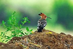 Hoopoe bird in Ramathra village, Rajasthan