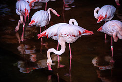 KM-341M Flamingoes in Kowloon Park