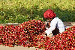 Sorting the chillies, Chatra Sagar, Rajasthan