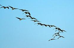 Birds flying in formation - Deogarh