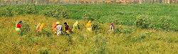 Chillie pickers, Chatra Sagar, Rajasthan