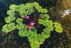 KM-376 Chi Lin Nunnery lotus