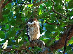 Owl - Ranthambore, Rajasthan