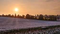 White poppy field sunr...