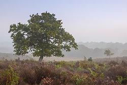 Oak in heather - New F...