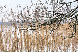 Bulrush and Branch
