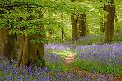 Path through Bluebell ...