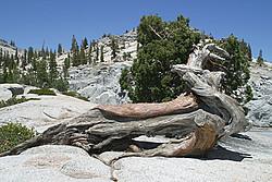 Jefferson Pine