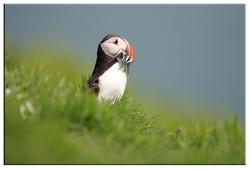 Puffins and Sea birds portfolio
