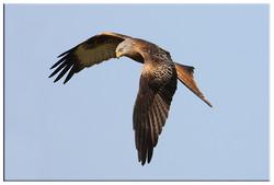 Red Kites and Buzzards portfolio