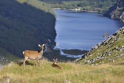 Glendalough Deer