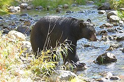 Taylor Creek Black Bear