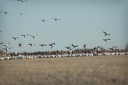 Spring Snow Geese