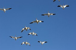 Snow Geese in the beautiful Nevada Sky