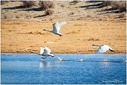 Tundra Swans - cleared for take off