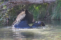 Black Bear at Taylor Creek