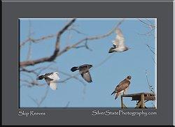 Hawk & Pigeons