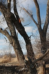 Cottonwood Tree Fire