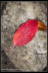 Red Leaf at Lamoille Creek
