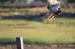 Hawk Takeoff