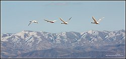 Tundra Swans in flight over the Stillwater Range