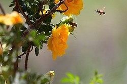 Yellow Rose & Bees