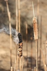 Smoking Cattail