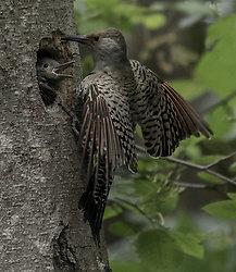 Backyard Birds of the Pacific Northwest portfolio
