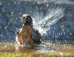 Backyard Bathing Birds portfolio