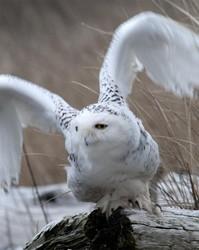 Snowy Owls portfolio
