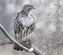 Red-tailed Hawk portfolio