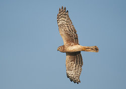 Hen Harrier portfolio