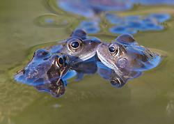 Common Frog portfolio