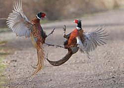Pheasant portfolio