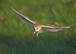 Barn Owl portfolio