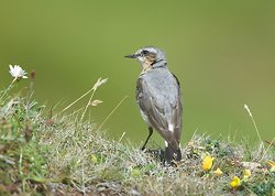 Northern Wheatear portfolio