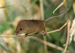 Harvest Mouse portfolio