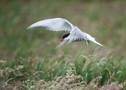 Arctic Tern portfolio