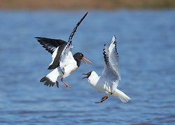 Black-headed Gull portfolio