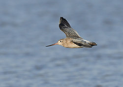 Bar-tailed Godwit portfolio
